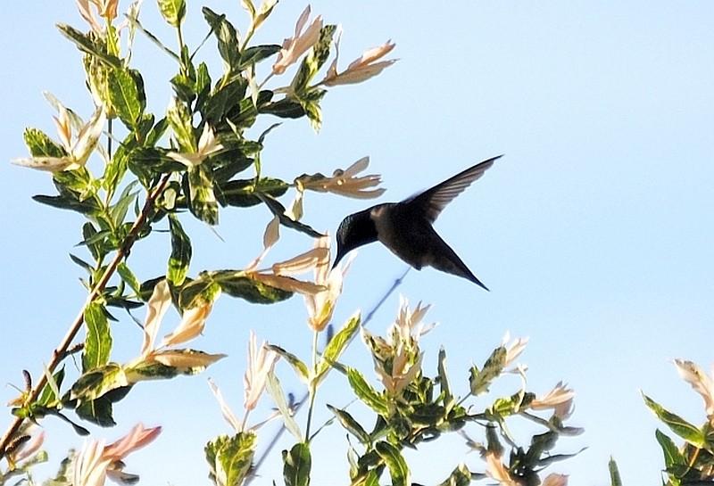 Un colibri? Colibr10