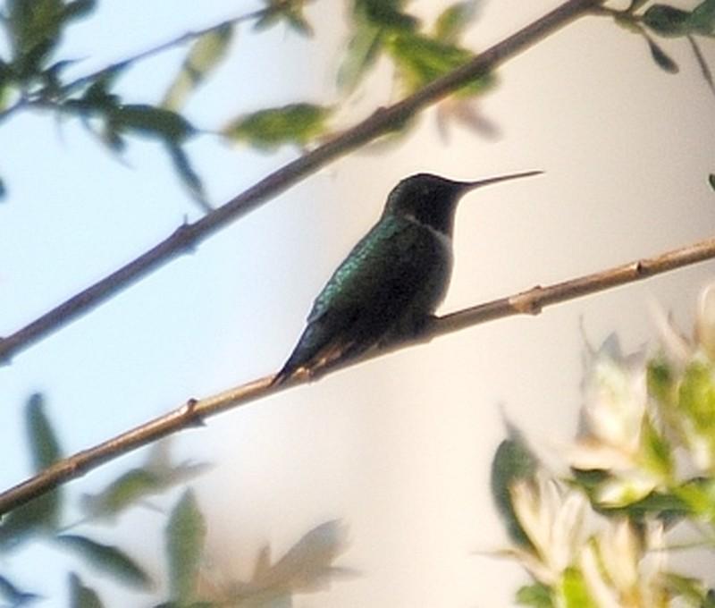 Un colibri? Colibr11