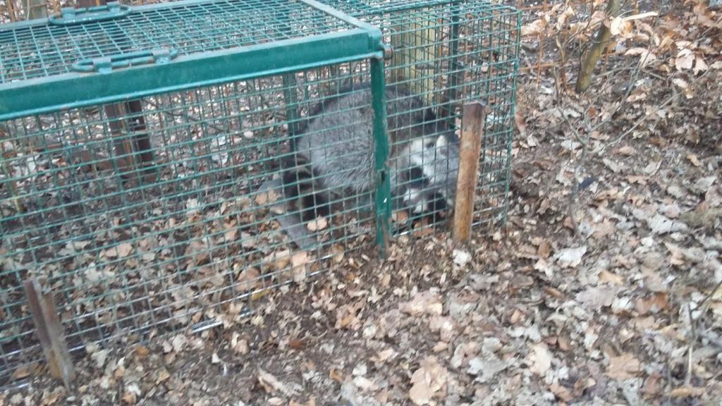 Peste porcine : On est en plein dedans !!! (Partie 3) 2019-013
