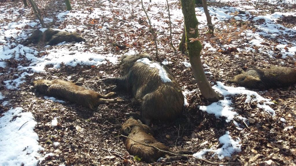 Peste porcine : On est en plein dedans !!! (Partie 2) - Page 39 20190208