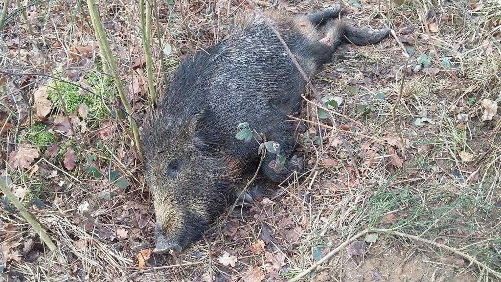 Peste porcine : On est en plein dedans !!! (Partie 2) - Page 13 20190270