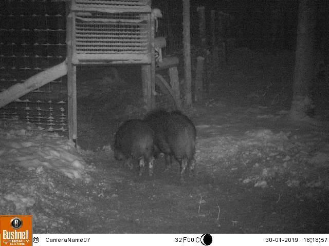 Peste porcine : On est en plein dedans !!! (Partie 2) Img-2034