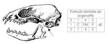 Identification d'un carnivore Tzolzo12