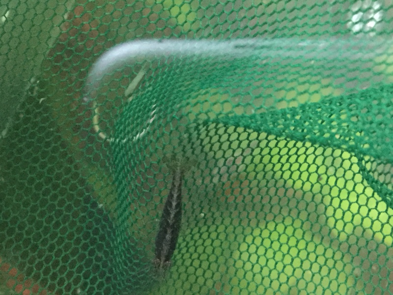 Crevette d'espèce inconnue  Image10