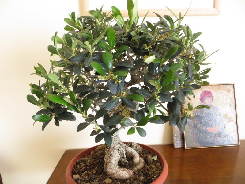 olivo europeo Img_4911