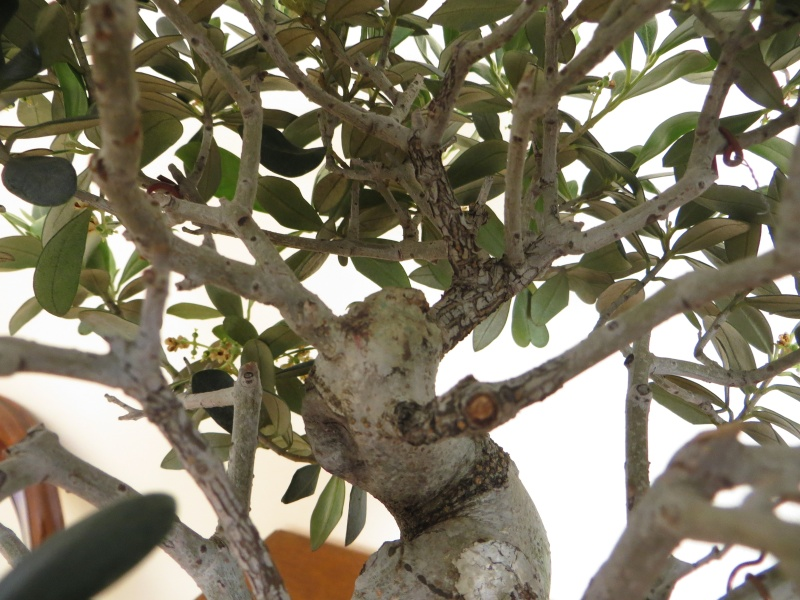 olivo europeo Img_4912