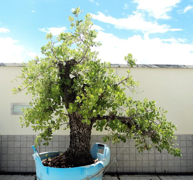 Quercus Ilex from Portugal! Dsc05510