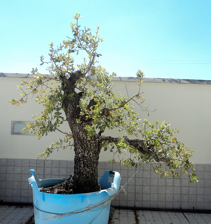 Quercus Ilex from Portugal! Dsc05511