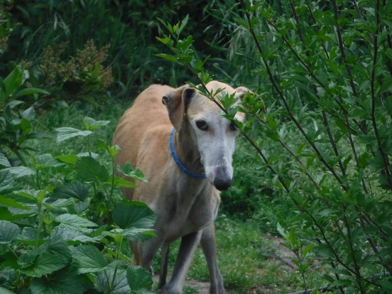 Mini Isabel, petite galga, marron clair, 6 ans  Adoptée  Mini_i10