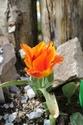 Tulipes : botaniques ou pas ?? Img_0814