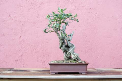 Lilac In 6 Years From Rawmaterial To A Bonsai