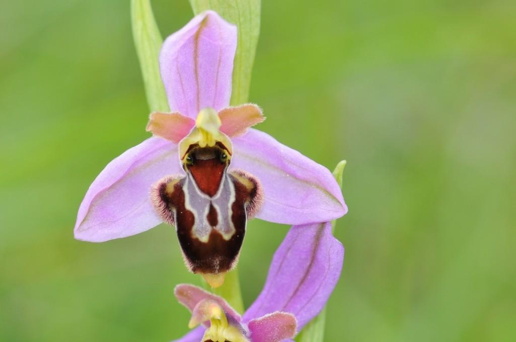 Ophrys apifera x aveyronensis Hyb_ap20