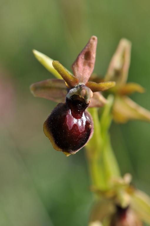 Ophrys litigiosa ( araneola ) × passionis  Hyb_ar17
