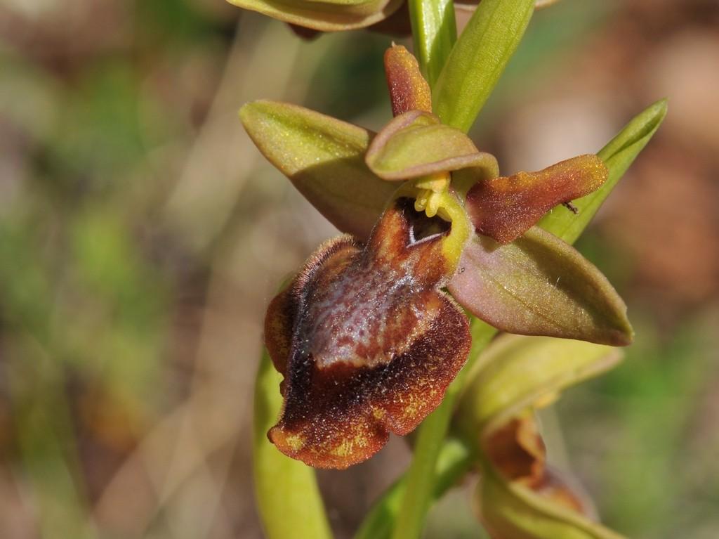 Ophrys aveyronensis × lutea Hyb_av42