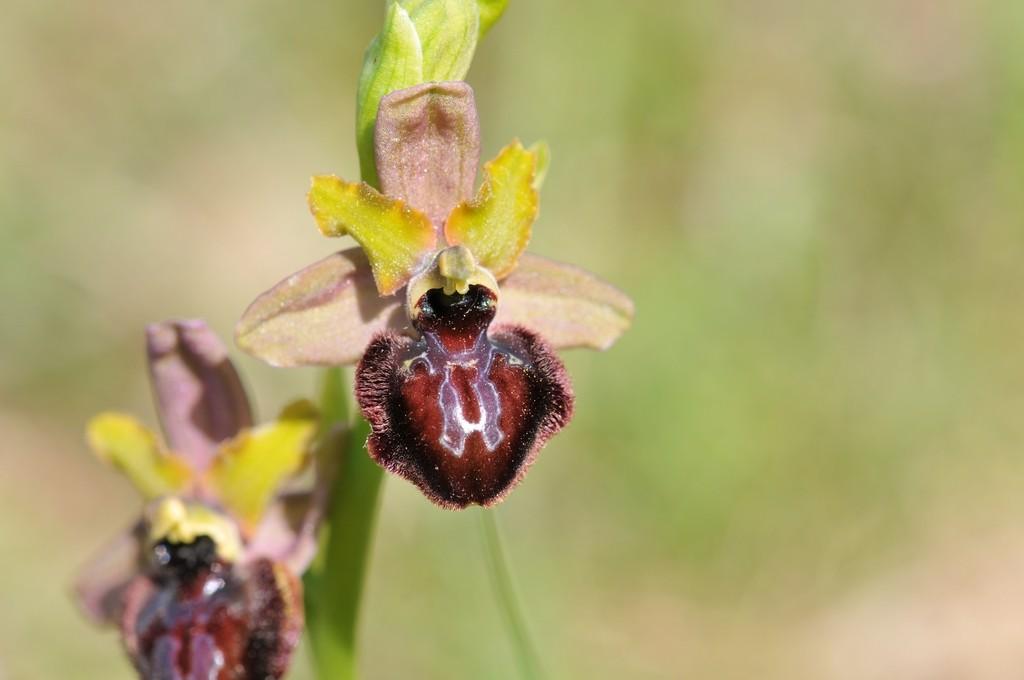 Ophrys aveyronensis × passionis (×costei) Hyb_av44