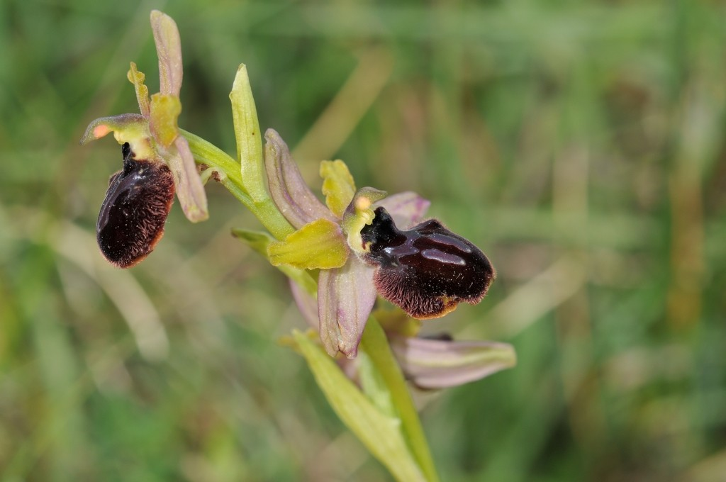 Ophrys aveyronensis × passionis (×costei) Hyb_av46