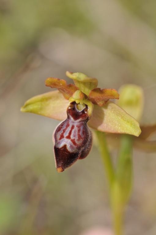 Ophrys aveyronensis × sulcata (×souliei) Hyb_av47