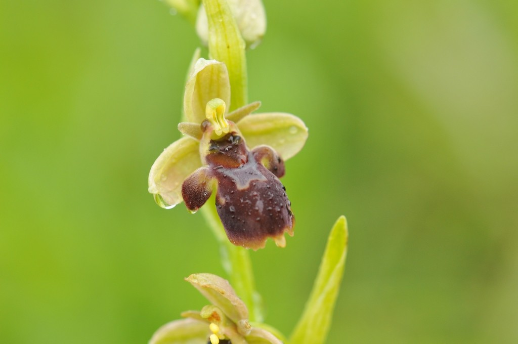 Ophrys aymoninii x scolopax Hyb_ay39
