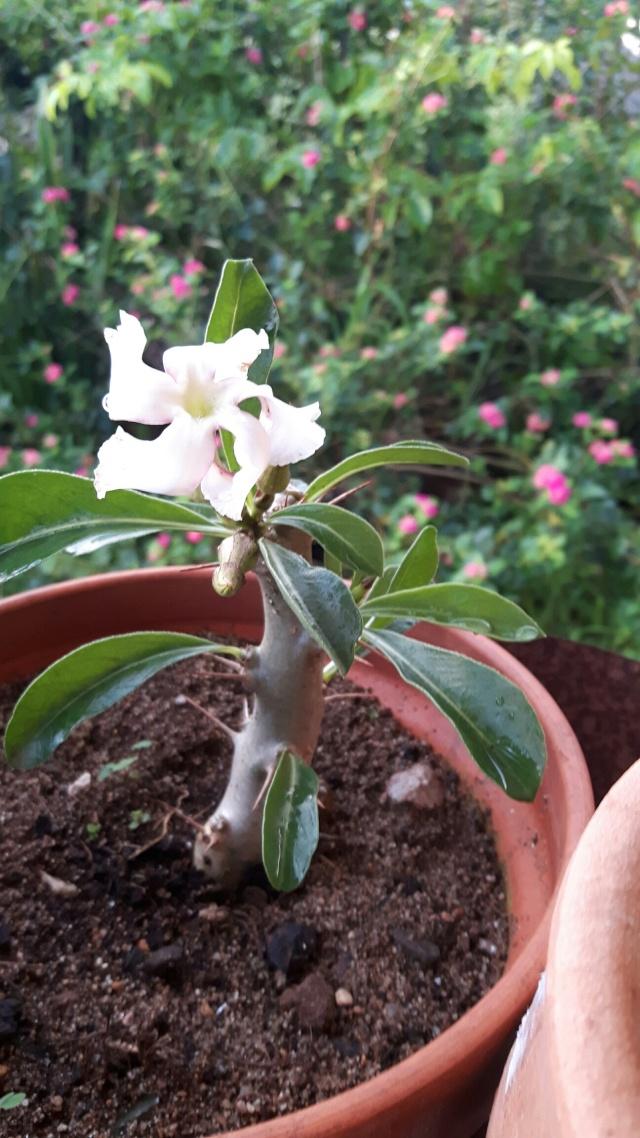 Identification d'une plante svp -Pachypodium saundersii- 20160312