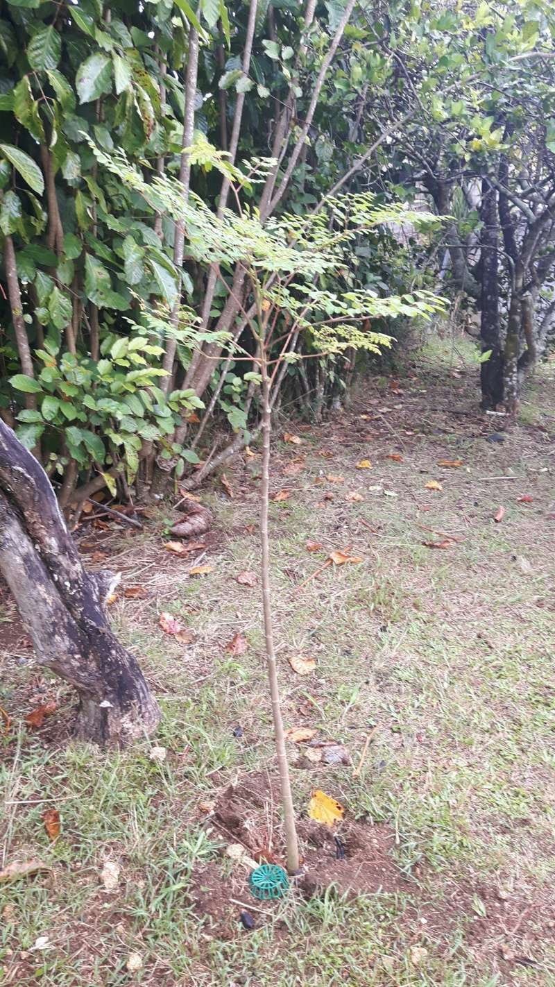 Arbre de vie- le Moringa Oleifera 20160526
