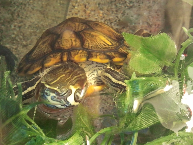 Tortues trachemys x2 - Jour 1 . - Page 3 Photo010