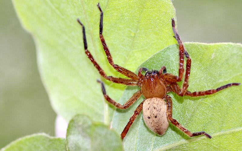 [Olios argelasius] Araignée à identifier Img_5310