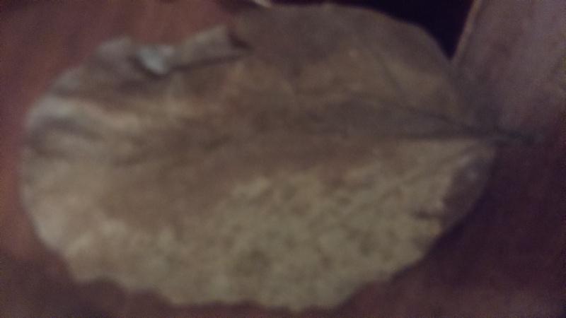 Feuilles de catappa ou pas  Dsc_0916