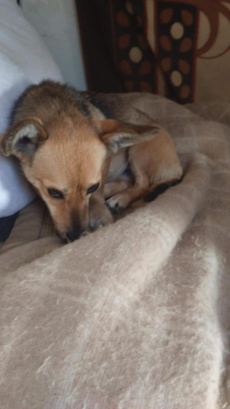 TINY, femelle mini sociable croisée teckel - adoptée par Sandrine (67) Receiv22
