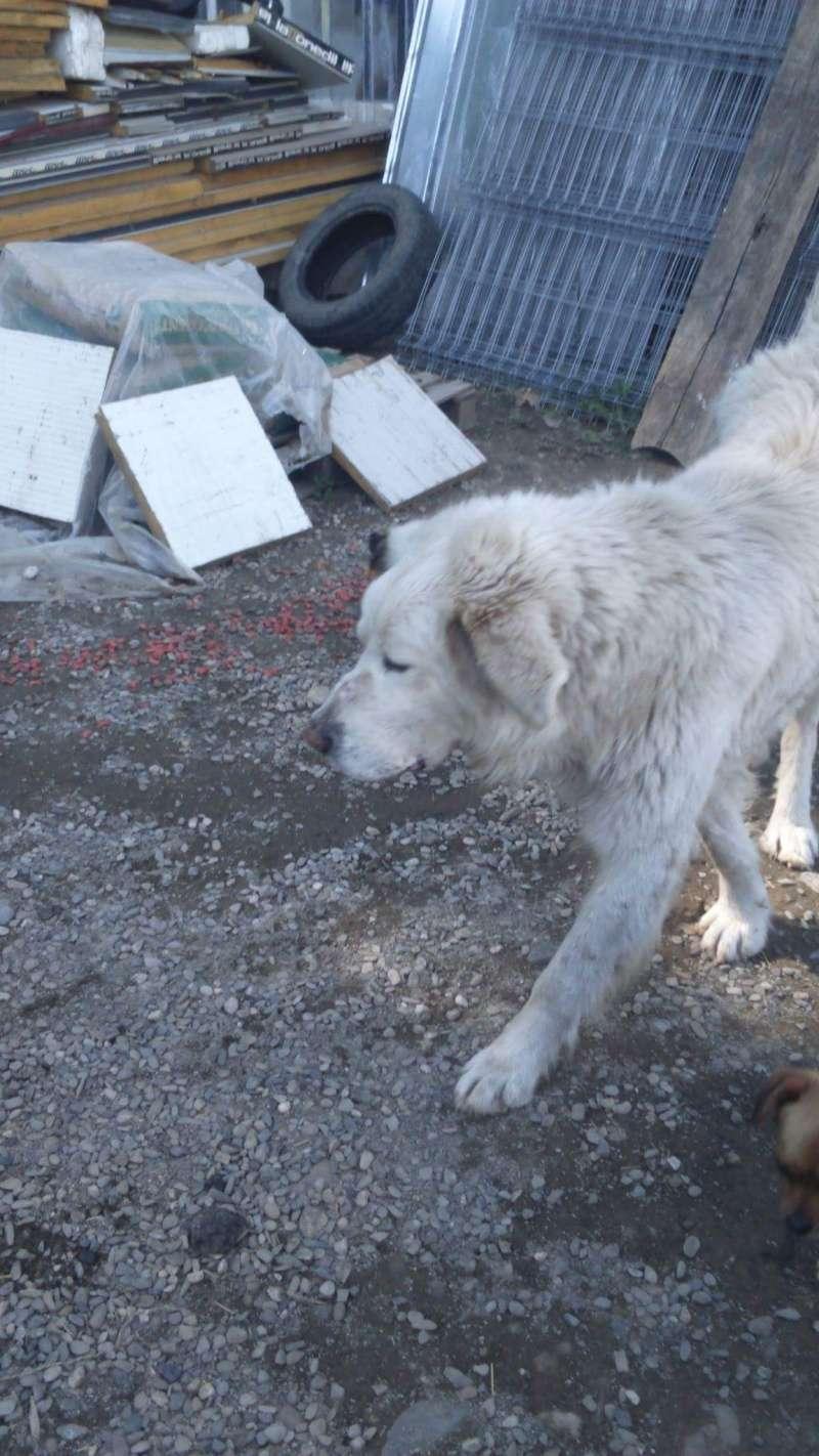 GOLIATH !! + de 3 ans de box !! mâle grande taille, né environ en octobre 2009, croisé montagne des Pyrénées (Cristesti) - REMEMBER ME LAND - En FALD chez Caroline (05) - DECEDE  Receiv53