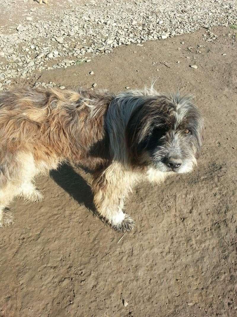 NEMO, mâle âgé type berger mioritic, grande taille environ 40kg, calme  (Pascani)- REMEMBER ME LAND - adopté par André et Nathalie (Belgique)- décédé  Receiv57