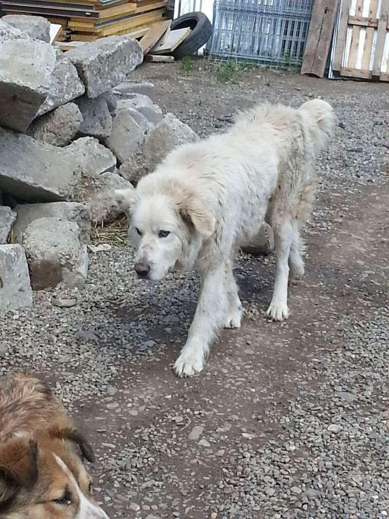 GOLIATH !! + de 3 ans de box !! mâle grande taille, né environ en octobre 2009, croisé montagne des Pyrénées (Cristesti) - REMEMBER ME LAND - En FALD chez Caroline (05) - DECEDE  Receiv65