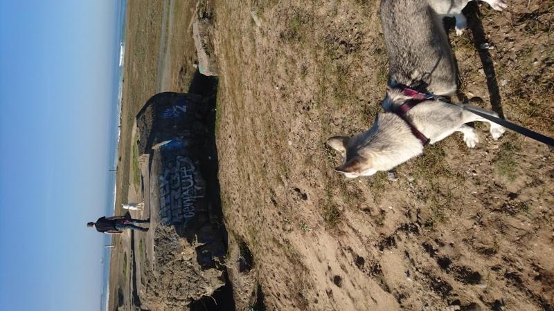 Shana husky 11 mois... de la souffrance à la delivrance ASSO24 - Page 5 Img_2711