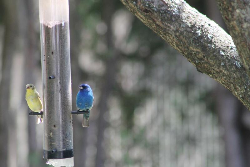 Quel est ce bel oiseau bleu... Img_3410