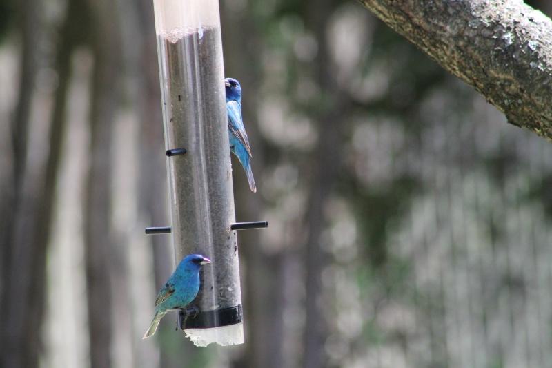 Quel est ce bel oiseau bleu... Img_3411