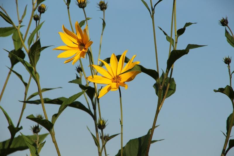 Sonnenblumen(artige) - Heliantheae - Seite 2 K-img_10