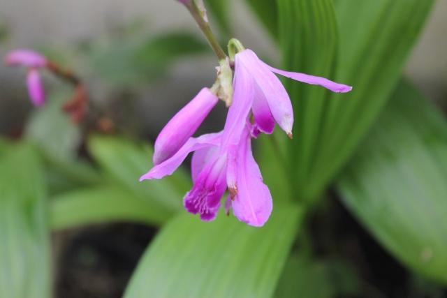 Floraisons de Mars - Page 15 Orchid10