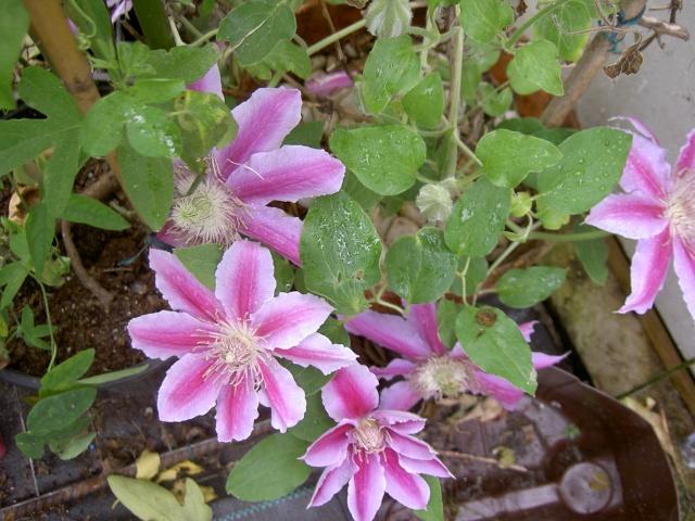 Floraisons du mois d'avril - Page 19 Pict7113