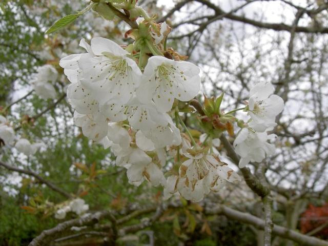 Floraisons du mois d'avril - Page 19 Pict7123