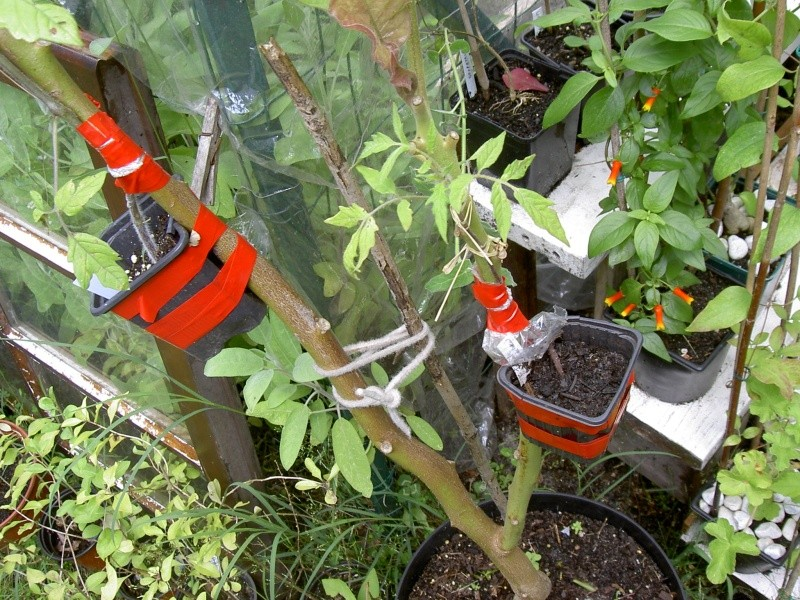 Tomate en arbre, Tamarillo ( Cyphomandra betacea) Pict7144