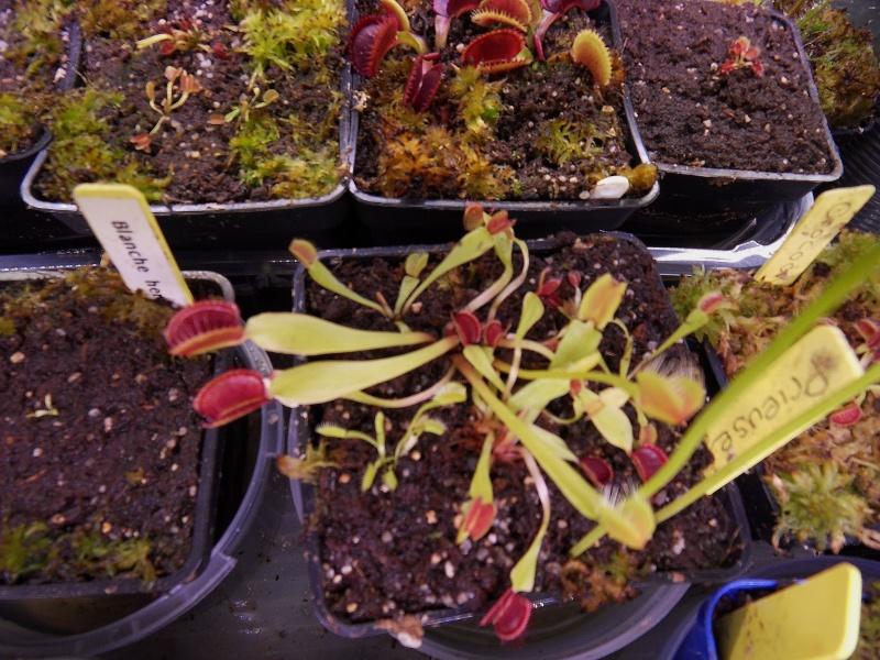 Suivi semis et germination Dionaea [Ted82] - Page 11 Sdc16349