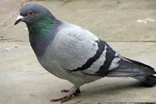 [RECH] Notice sega master system 1 Pigeon10