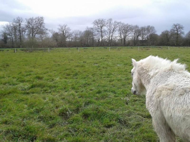 FRIPON - Welsh Pony né en 1993 - adopté en juillet 2015 par Claire 12495110