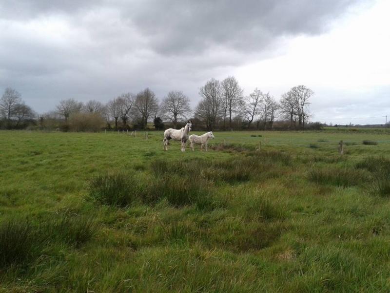 FRIPON - Welsh Pony né en 1993 - adopté en juillet 2015 par Claire 12670310