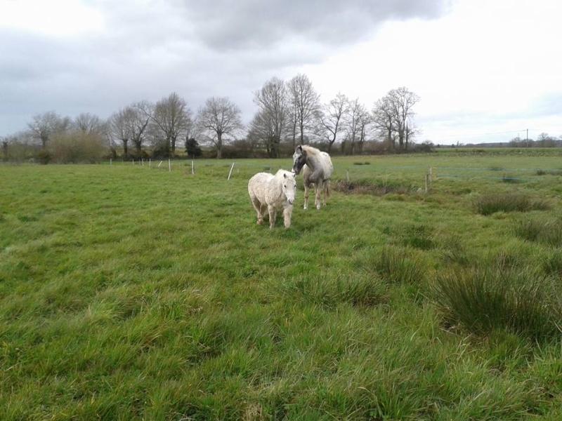 FRIPON - Welsh Pony né en 1993 - adopté en juillet 2015 par Claire 12919710