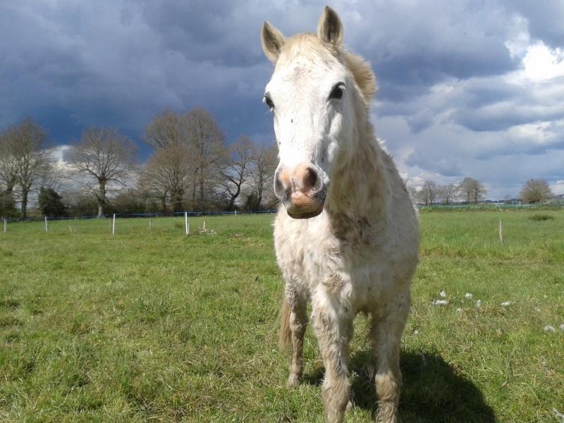 FRIPON - Welsh Pony né en 1993 - adopté en juillet 2015 par Claire 20160410