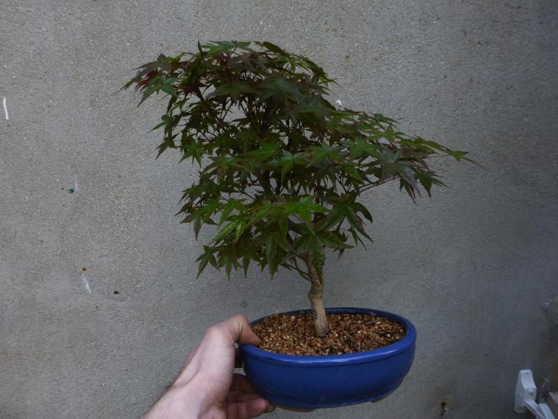 le bonsai de dams Acer_p10