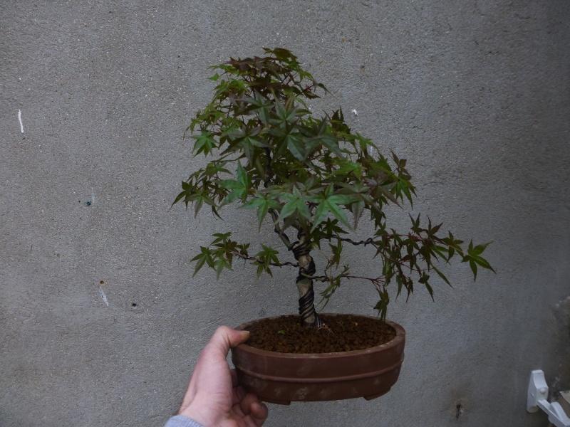 le bonsai de dams Acer_p11