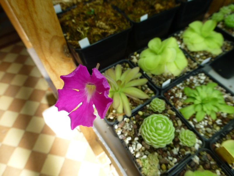 photos de pinguicula Encant11