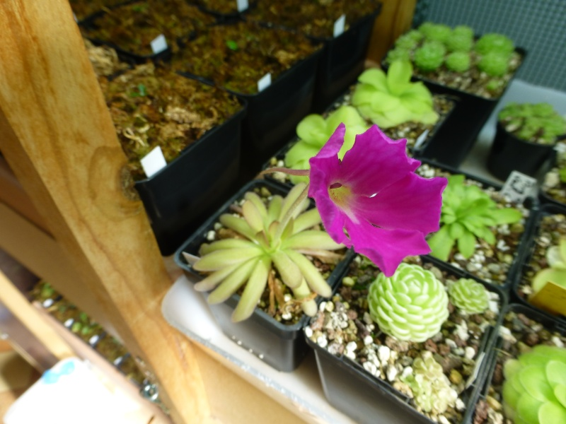photos de pinguicula Encant12