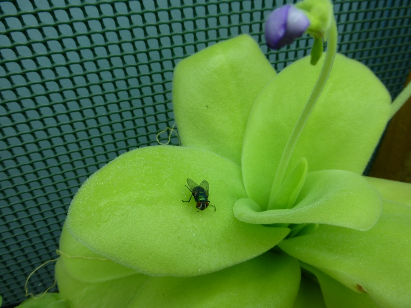 photos de pinguicula Gigant10